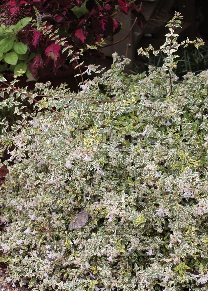 Abelia Hopleys aka Twist of Lime (Abelia) 4