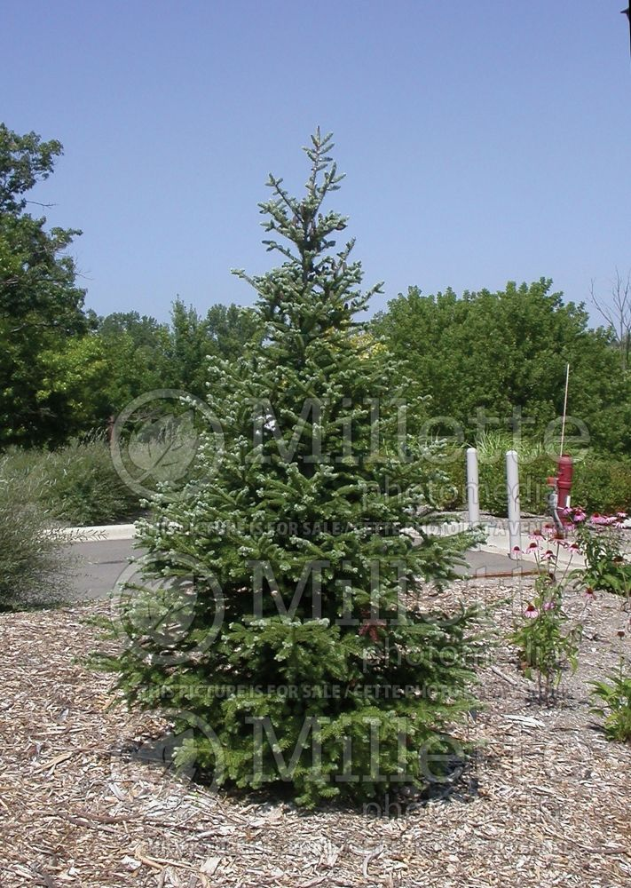 Abies balsamea var. phanerolepis (Balsam fir conifer) 4