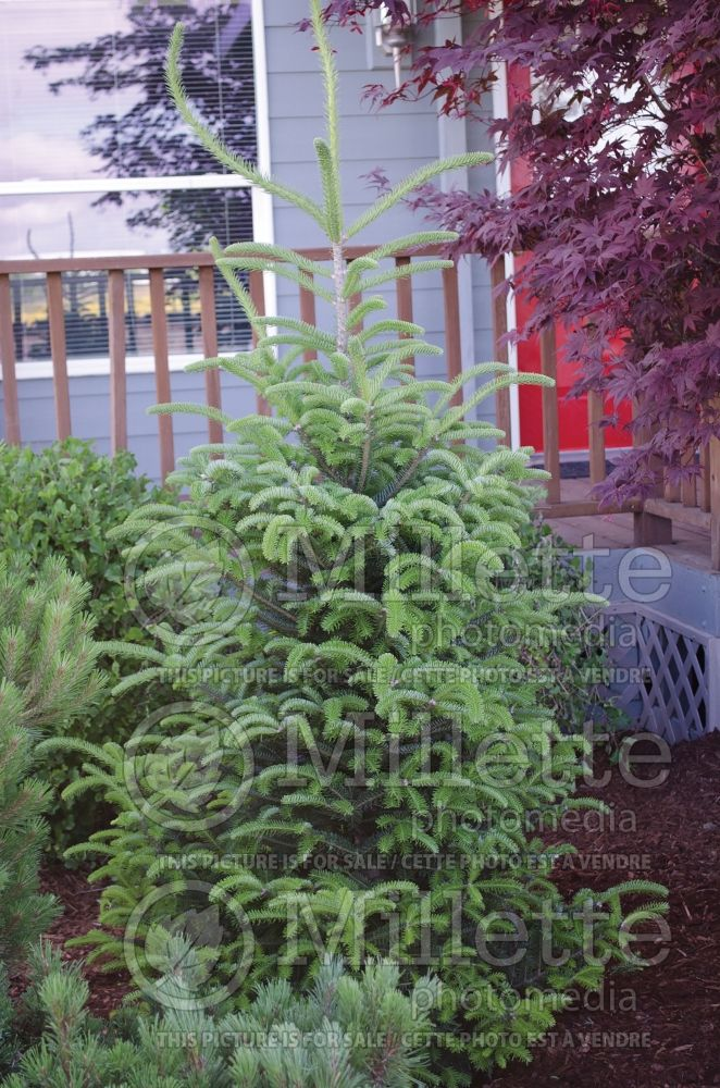 Abies balsamea var. phanerolepis (Balsam fir conifer) 3