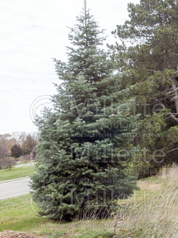 Abies concolor (White Fir conifer) 1