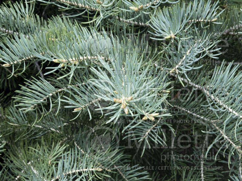 Abies concolor (White Fir conifer) 2
