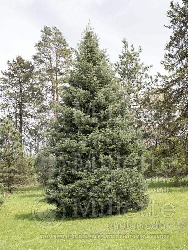 Abies concolor (White Fir conifer) 3