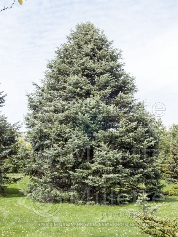 Abies concolor (White Fir conifer) 4
