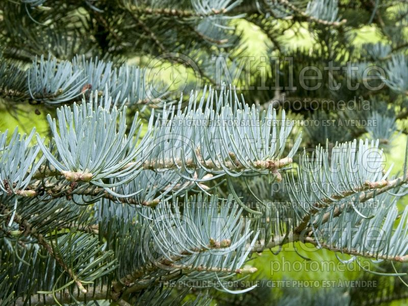Abies Argentea or Candicans (Argentea White Fir conifer) 6