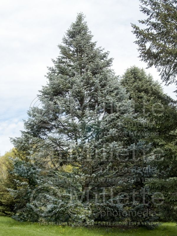 Abies Argentea or Candicans (Argentea White Fir conifer) 7