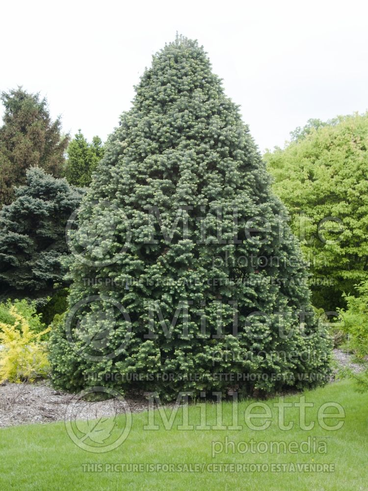 Abies Compacta (White Fir conifer) 3