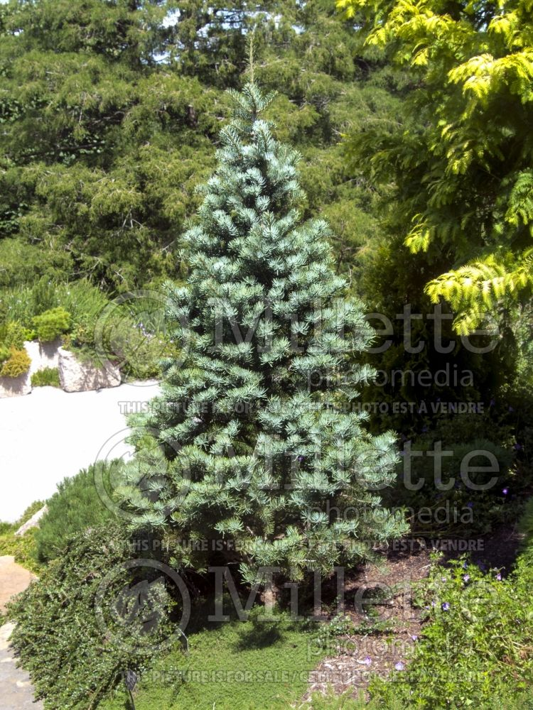 Abies Compacta (Sapin conifère) 4