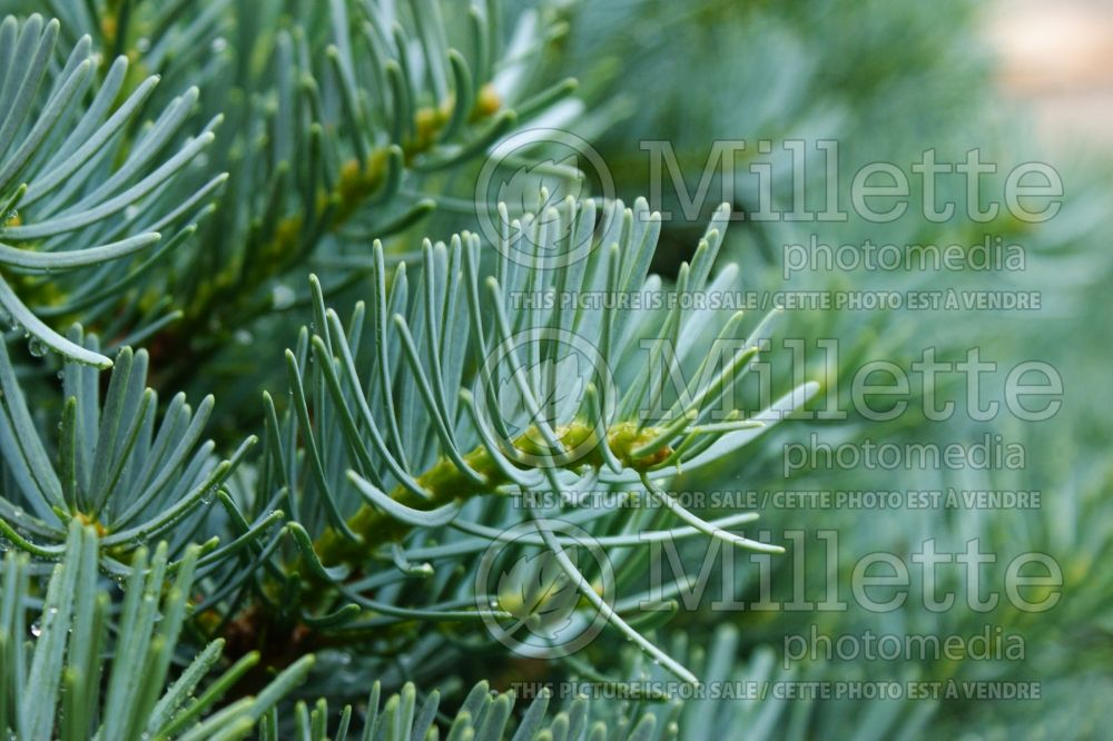 Abies Glauca Compacta  (Korean fir conifer) 1
