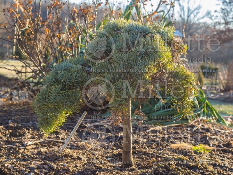 Abies Hosta La Vista (White Fir conifer) 1