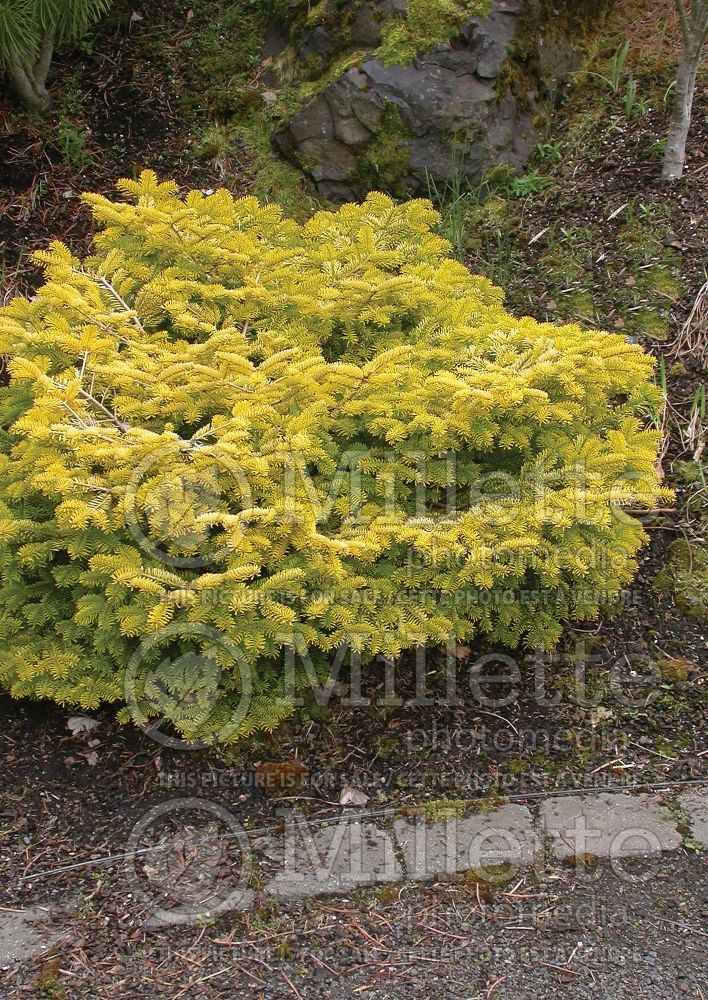 Abies Golden Spreader (Nordmann Fir conifer) 3