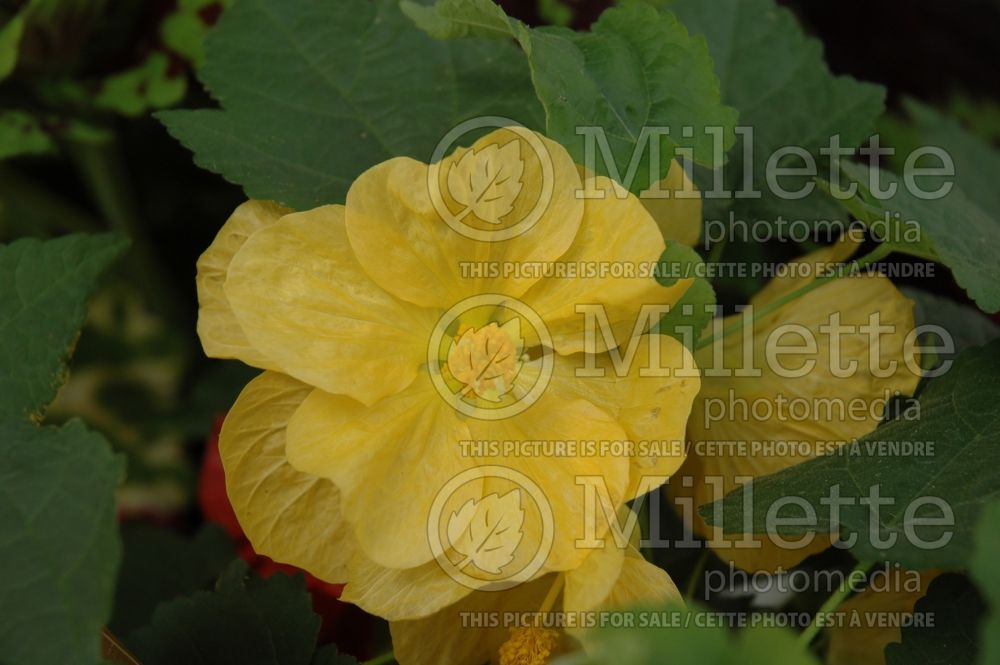Abutilon Bella Yellow (Flowering Maple, Indian Mallow) 1