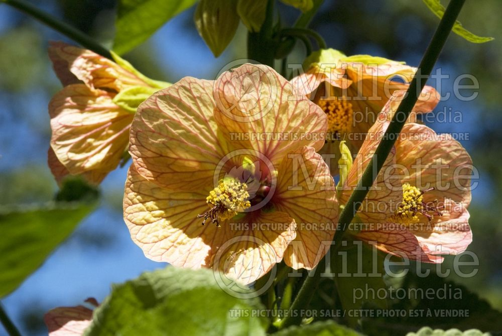 Abutilon Cascade Dawn (Flowering Maple, Indian Mallow) 1