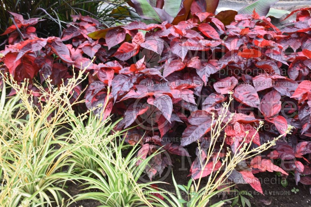 Acalypha Bronze Pink (Plante chenille) 1