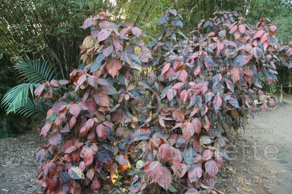 Acalypha wilkesiana (Copperleaf, Jacob's Coat) 1