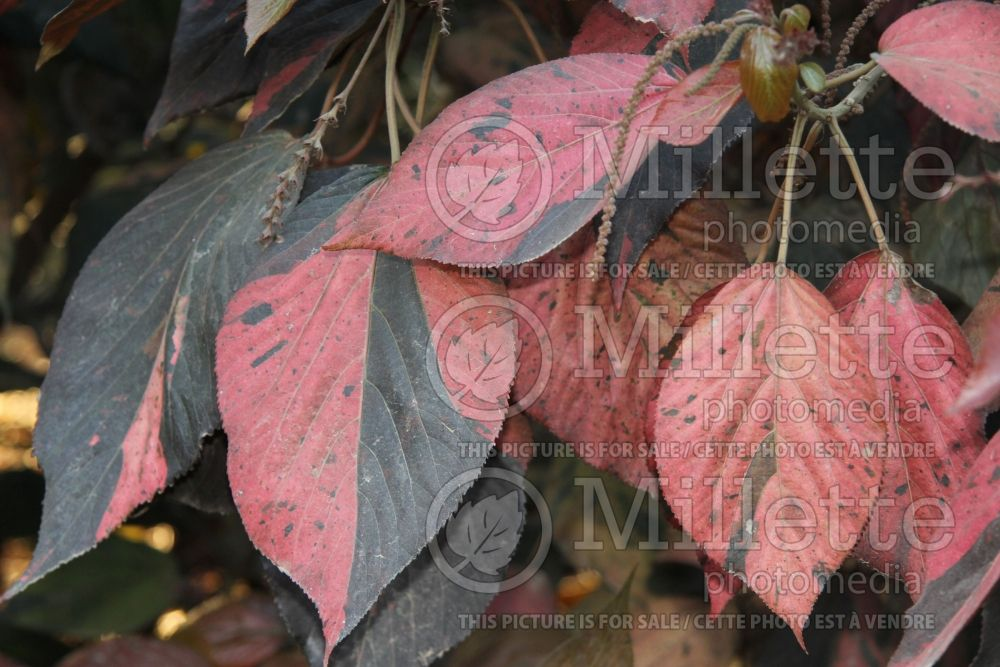 Acalypha wilkesiana (Copperleaf, Jacob's Coat) 2