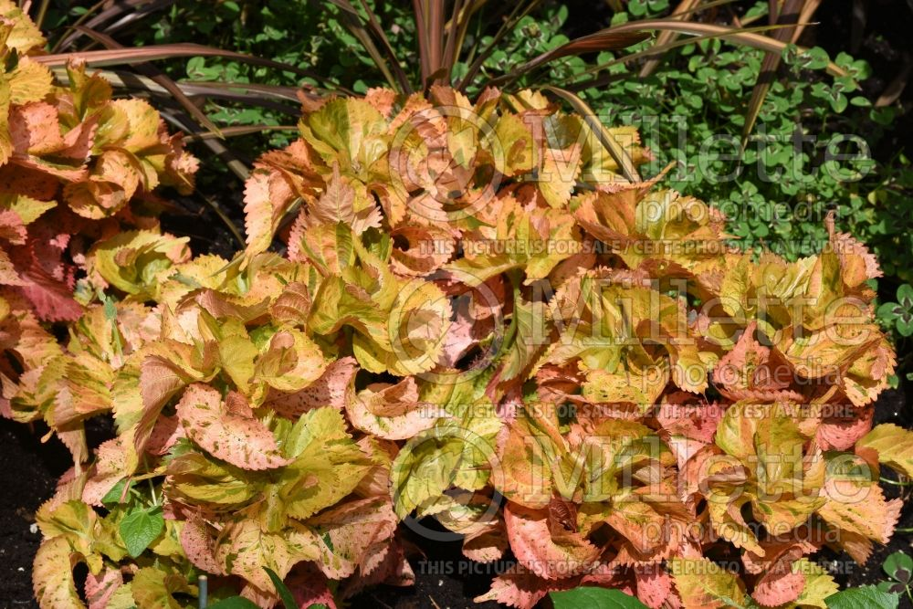 Acalypha Tiki Peach Whirl (Copperleaf, Jacob's Coat) 1