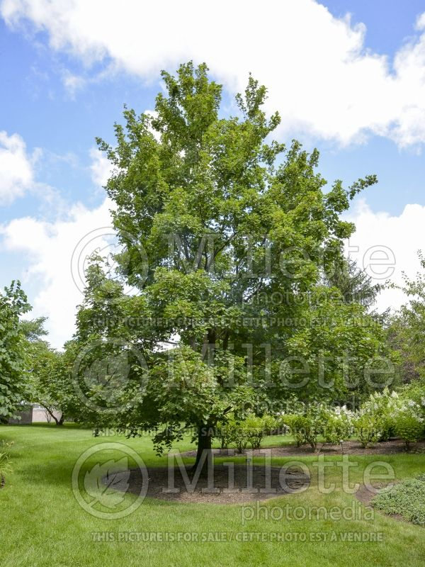 Acer campestre (field maple hedge maple) 1