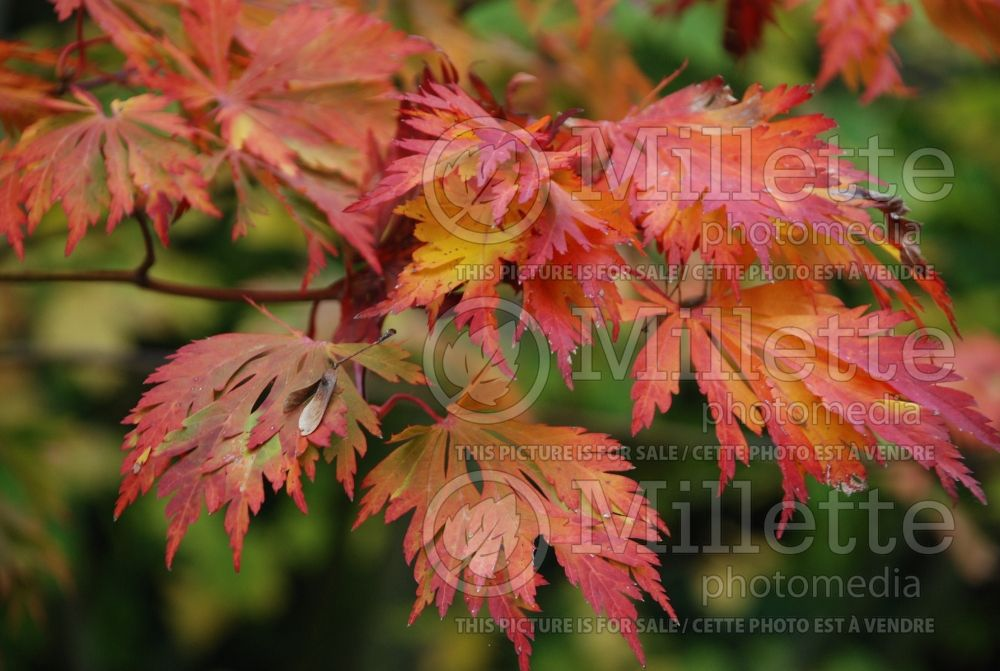 Acer Aconitifolium (Japanese Maple) 1