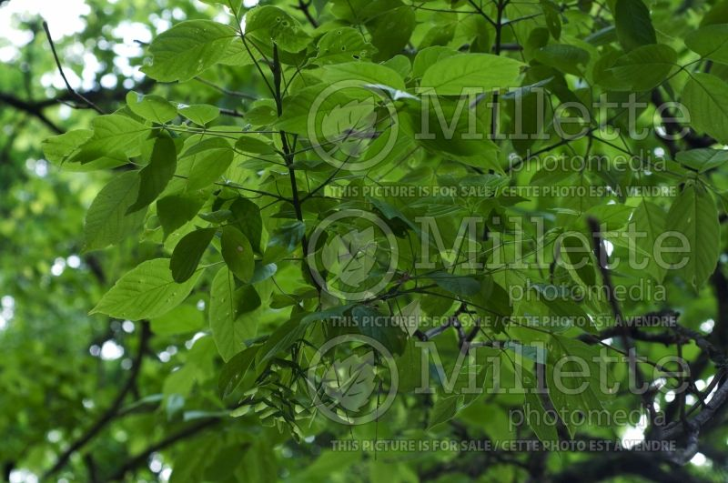 Acer negundo (Box elder, boxelder maple, Ash-leaved Maple) 4