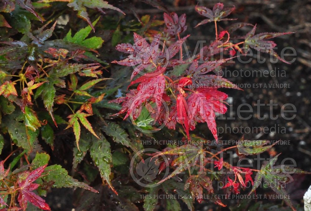 Acer Aratama (Japanese Maple – érable japonais) 4