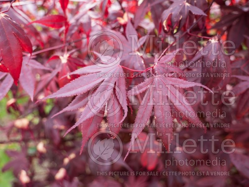 Acer Bloodgood  (Japanese Maple) 4