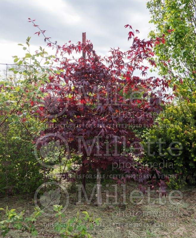 Acer Bloodgood  (Japanese Maple) 5