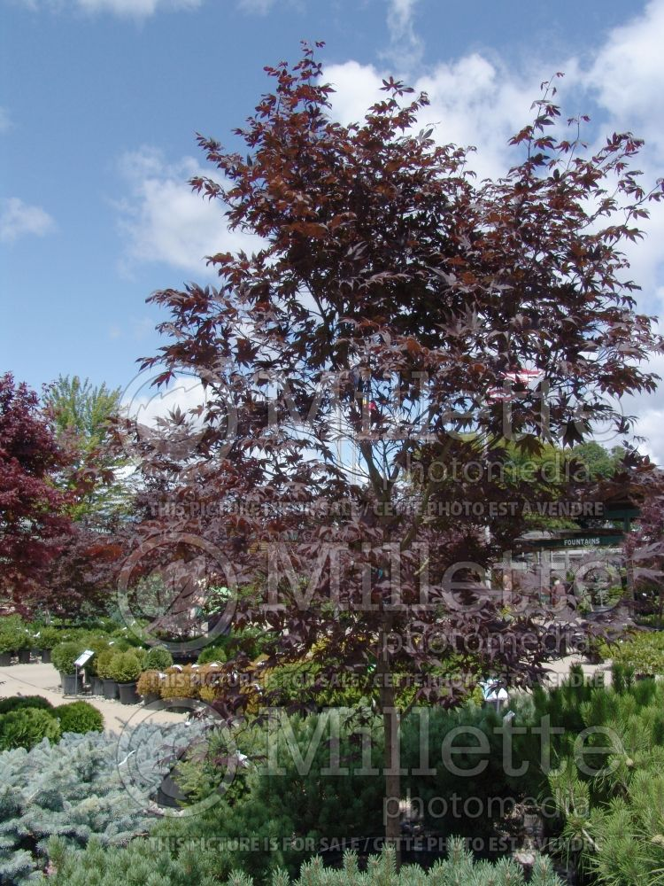 Acer Bloodgood  (Japanese Maple) 9