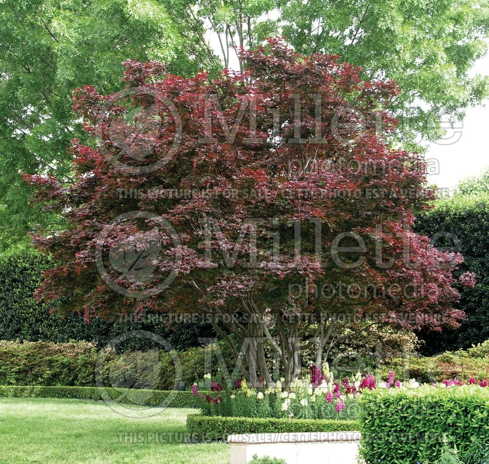 Acer Bloodgood  (Japanese Maple) 10