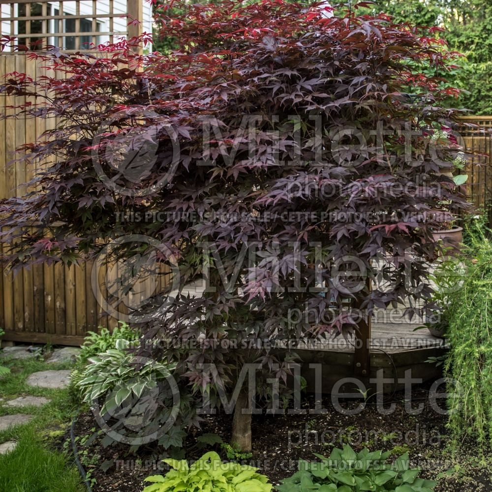 Acer Bloodgood  (Japanese Maple) 11