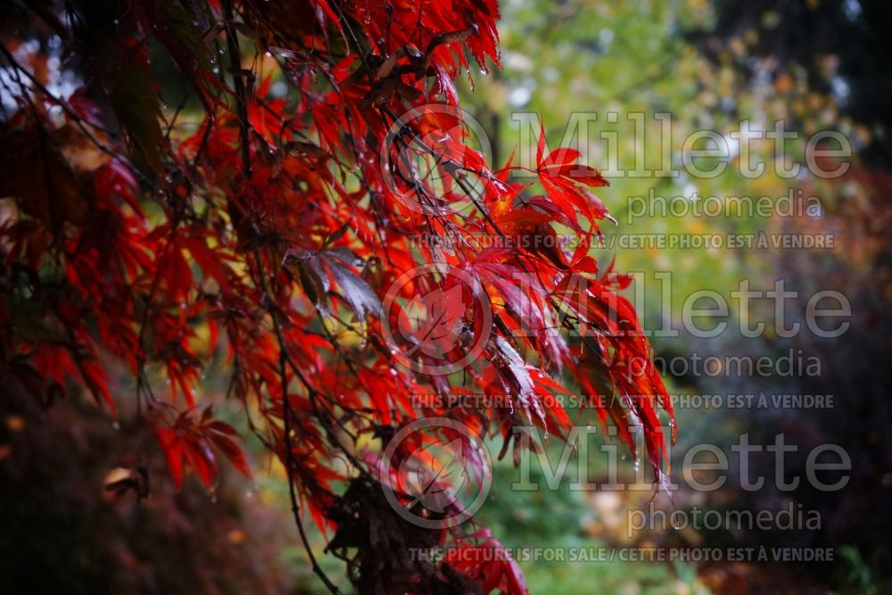 Acer Burgundy Lace (Japanese Maple) 2