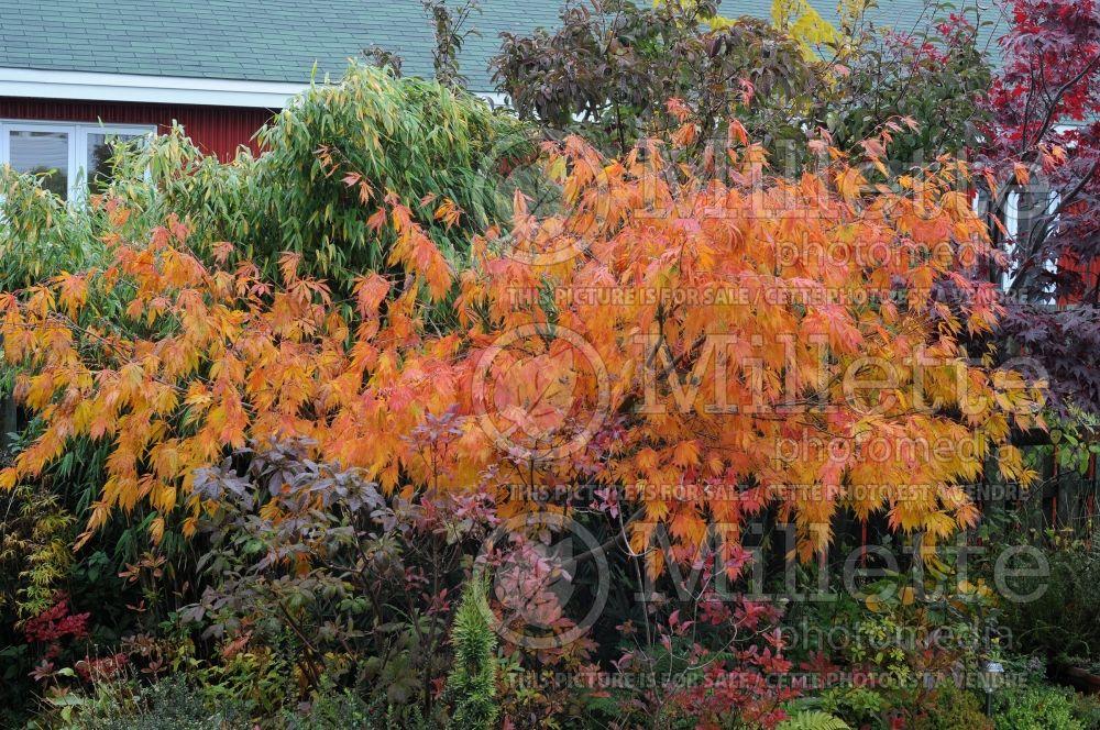 Acer Omure yama (Japanese Maple - Erable japonais) 2