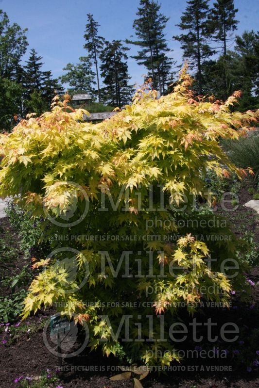 Acer Orange Dream (Japanese Maple) 5