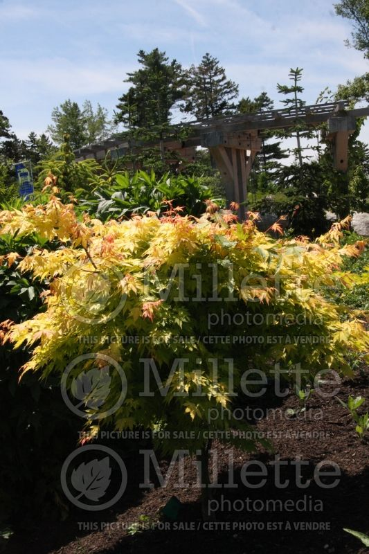 Acer Orange Dream (Japanese Maple) 6