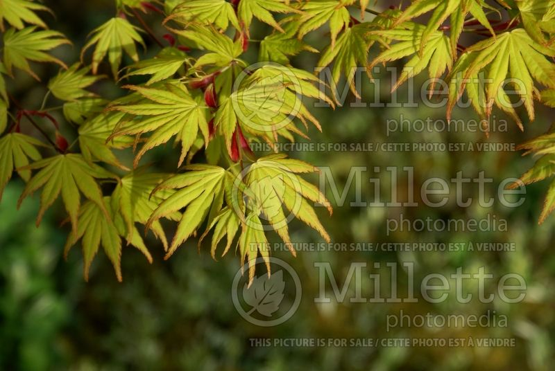 Acer Orange Dream (Japanese Maple) 7