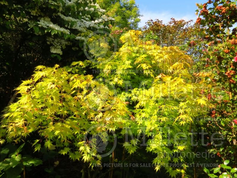 Acer Orange Dream (Japanese Maple) 4