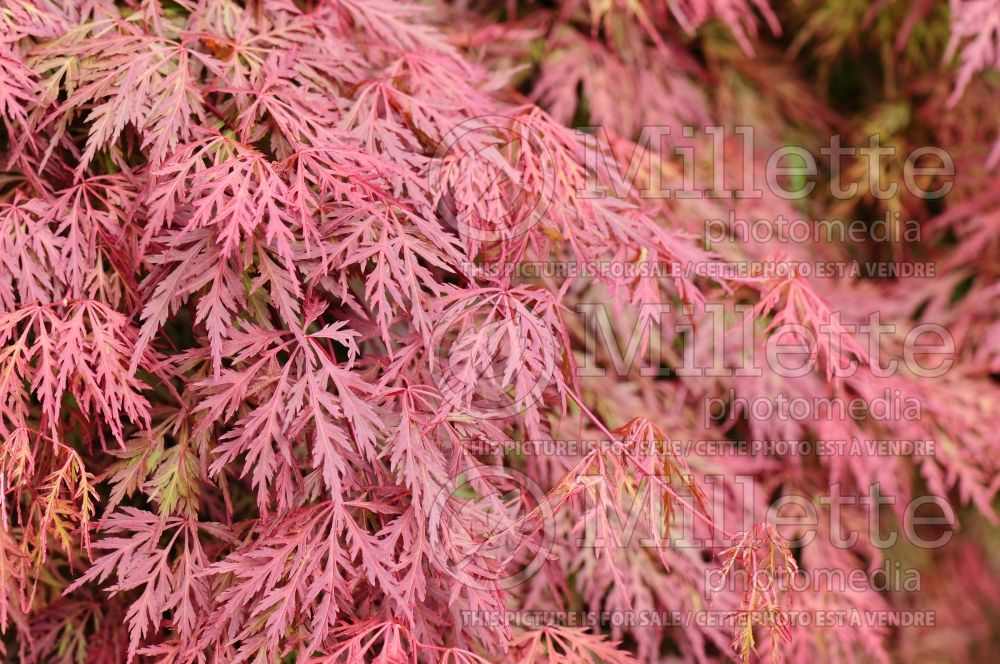 Acer Orangeola (Japanese Maple - Erable japonais) 2