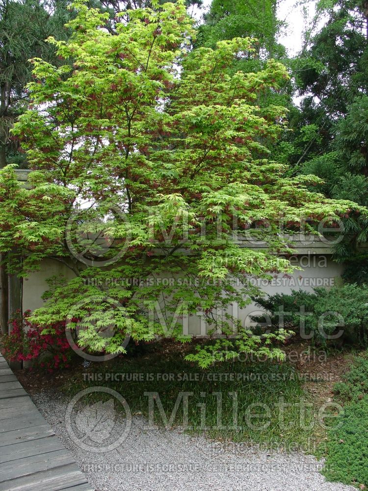 Acer Oshio-Beni (Japanese Maple) 1
