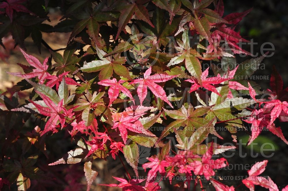 Acer Pink Star (Japanese Maple - Érable japonais) 1