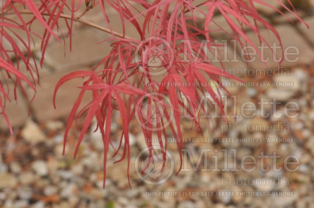 Acer Red Cloud (Japanese Maple - Érable japonais) 1