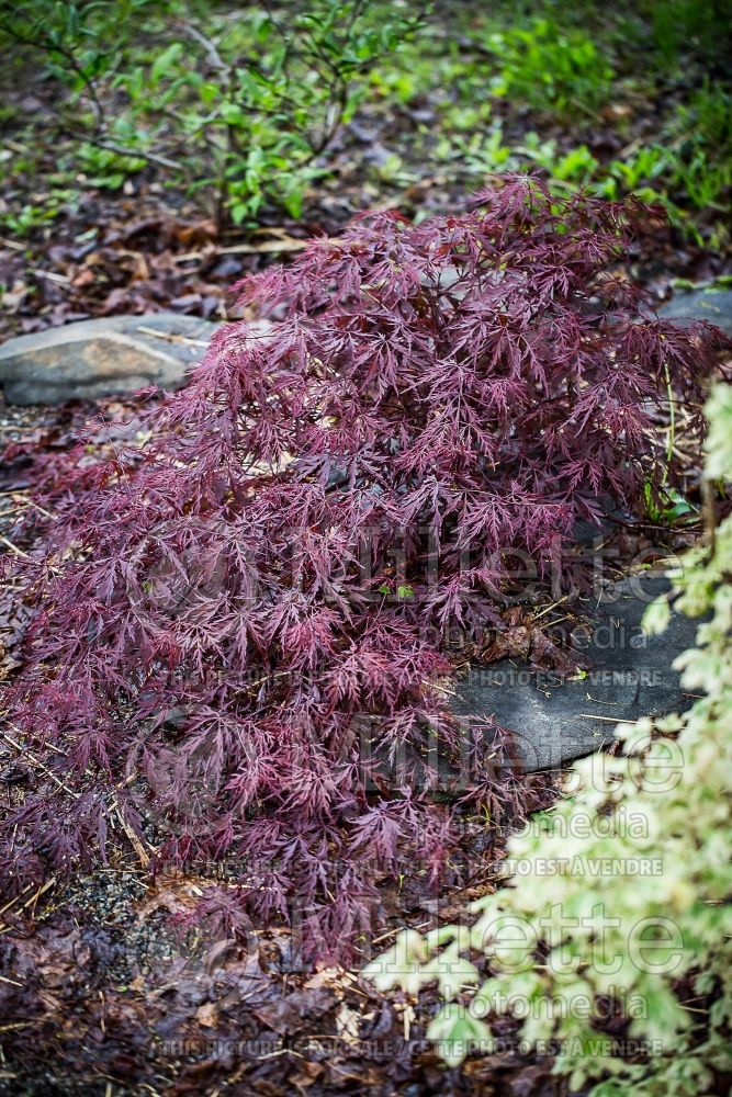 Acer Red Dragon (Paperbark Maple) 3