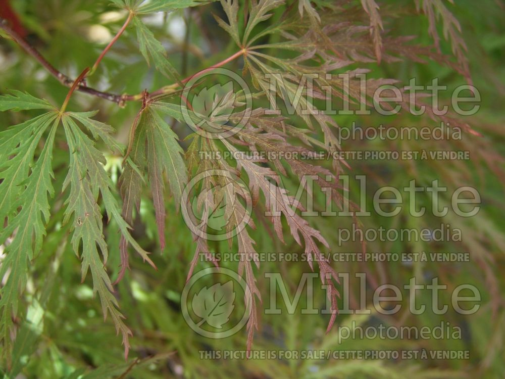 Acer Red Dragon (Paperbark Maple) 4