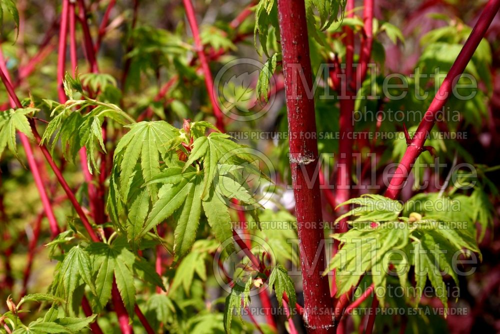 Acer palmatum Sango-kaku maple an upright, slow-growing, vase-