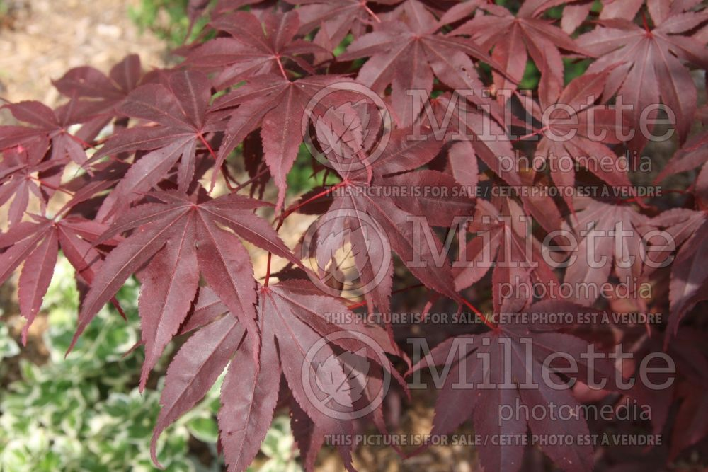 Acer Sharp's Pygmy (Japanese Maple - Erable japonais) 3