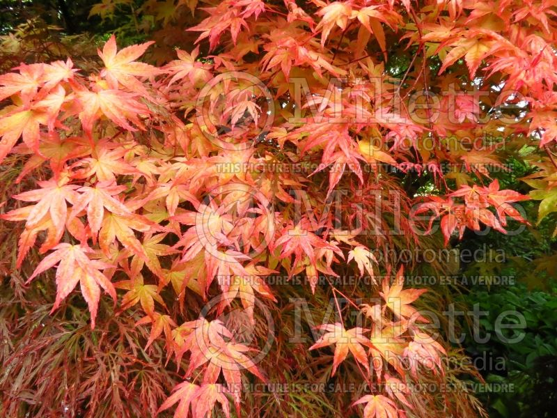 Acer Shindeshojo (Japanese Maple) 6