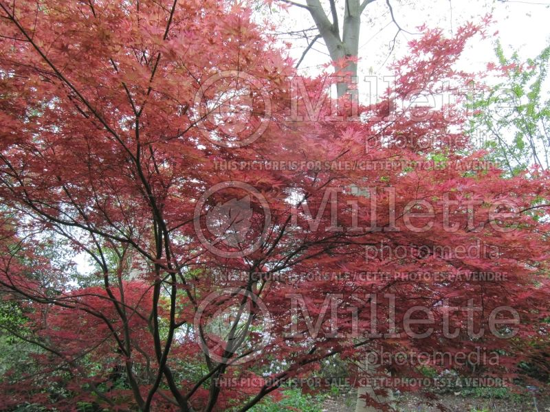Acer Shindeshojo (Japanese Maple) 3