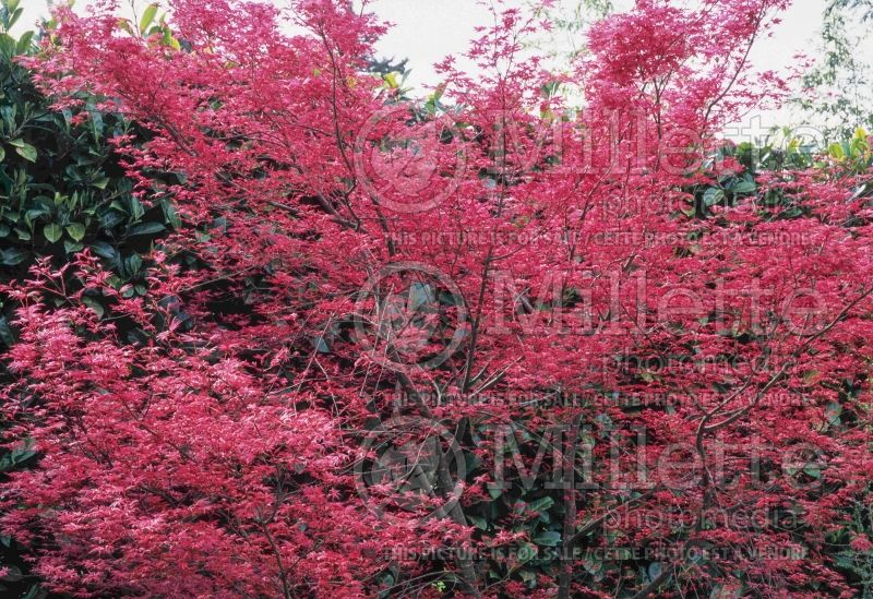Acer Shindeshojo (Japanese Maple) 4