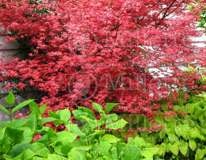 Acer Shindeshojo (Japanese Maple) 5
