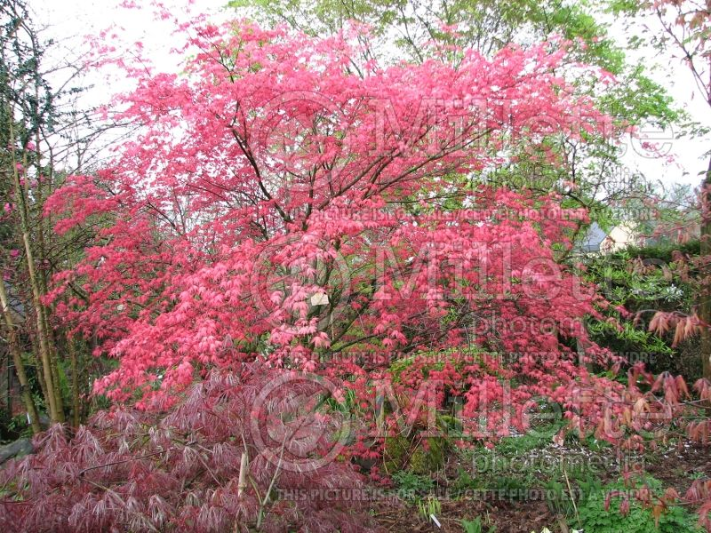 Acer Shindeshojo (Japanese Maple) 1