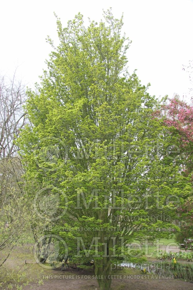 Acer Shishigashira (Japanese Maple) 1
