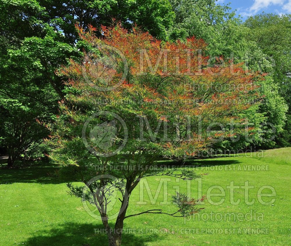 Acer Villa Taranto (Japanese Maple - Erable japonais) 1